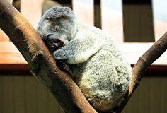 Gratis bild på Pixabay - Koala, Djur, Söt, Purry