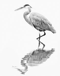 An Artistic Homage to the Great Blue Heron in Eustis, Florida » Focusing on Wildlife