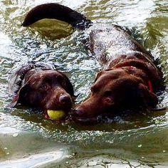 Labradors Swimming