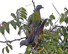 Little Green Pigeon (Treron olax)
