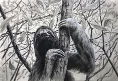 #threetoedsloth in #charcoalpencil over very matte #acrylic paint #sloth #painting #drawing #wildlifeart @generalpencil @culturehustle