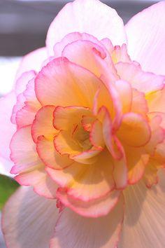 White & Pink Begonia