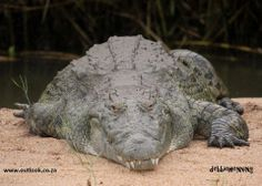 Is that a grin or a grimace? #crocodile #wildlife #safari #krugerpark www.outlook.co.za