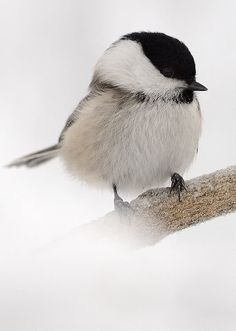 "Black-capped Chickadee is one of my favorite birds.  There is a simple elegance in the way the hop around and it is hard to be sad when you hear their ""chickadee, dee, dee"" song."