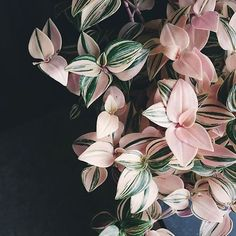 "Houseplant Club on Instagram: ""We have a thing for pink foliageWhat's your favorite color foliage? : @littleandlush thanks so much for sharing with #houseplantclub"""