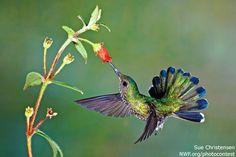 Photo of the Week: White-necked Jacobin Hummingbird Via @nwfpins