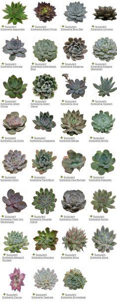 Reconnaître le nom d'une succulente