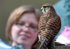 Kestrels are breeding more successfully than ever in Scotland thanks to the work of conservationists and gamekeepers. Picture: TSPL