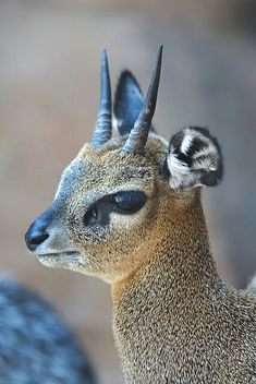 Kirk's dik-dik (Madoqua kirkii) is a small antelope found in eastern and southwestern Africa. It grows to 70 cm in length and weighs up to 7 kg, shoulder height about cm Interesting Animals, Unusual Animals, Strange Animals, Unusual Pets, Exotic Animals, Beautiful Creatures, Animals Beautiful, Animals Amazing, Cute Baby Animals