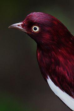 pompadour cotinga (Xipholena punicea),What beautiful colors Pretty Birds, Beautiful Birds, Animals Beautiful, Cute Animals, Exotic Birds, Colorful Birds, All Birds, Love Birds, Marsala