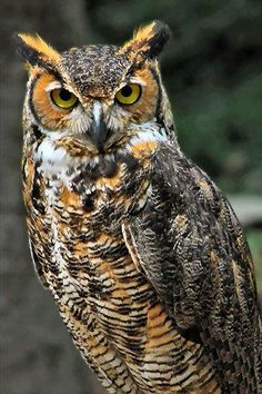 horned-owl-iphone-wallpaper-tweet-animals-birds-horned-owl.jpg (320×480)