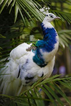 It is so fascinating to see the White Indian Blue Peacock. This is the first I have seen of the beautiful white displaying the blue colors as well. It is amazing!