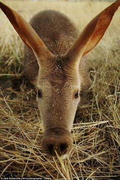 El cerdo hormiguero o aardvarks, - Buscar con Google