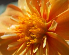Saffron coloured Dahlia in full bloom, basking in summer sunlight. High res version on my Flickr account: https://www.flickr.com/photos/droogl/14595286085/