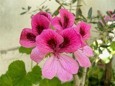 Pink Pelargonium flowers, so lovely!