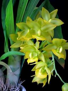 SeattleOrchid.com - Cycnodes Jumbo Puff orchid plant.  Large yellow flowers and Fragrant.  Spectacular display on a great indoor growing specimen.