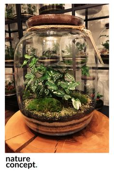 Terrarium from my old glass canisters with wood lids? Terrarium Closed, Bottle Terrarium, Small Terrarium, Cactus Terrarium, Bottle Garden, Glass Garden, Leafy Plants, Indoor Plants, Potted Plants