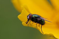 Green Bottle Fly or Greenbottle Fly macro photography image on yellow flower by New England award winning fine art photographer Juergen Roth. Macro photo art Catch Me If You Can of the resting blowfly was created at Broad Meadow Brook Conservation Center and Wildlife Sanctuary in Worcester, MA, captured on a late morning in June 2014.  Good light and happy photo making!  My best,  Juergen http://www.exploringthelight.com http://www.rothgalleries.com @NatureFineArt