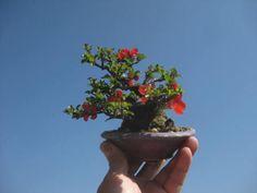 """Baby"" Bonsai 58  ~  盆栽:花いろいろ|春嘉の盆栽工房"
