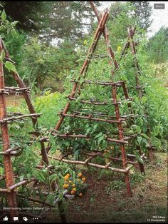 Great tomato trellis-notice the marigolds growing at the base