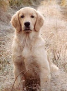 Golden Retriever makes me think of the dog buddy;) so cute