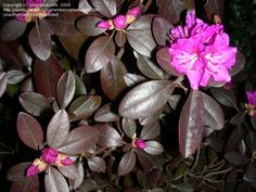 Rhododendron 'Thunder'. Another variety with dark chocolate winter foliage. Pink flowers.