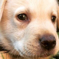 #dogs #labrador #puppy