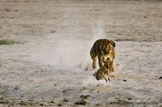 A lion hunts a baby puku in Luangwa