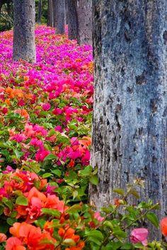 Bougainvillea Forest, Maui, Hawaii....                                                                                                                                                     More