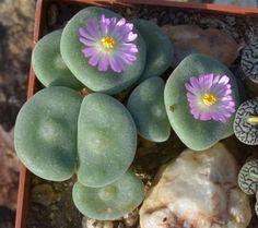 Conophytum ernstii EVJ8512 - Sandberg, Richtersveld - Novembre 2012 | Conophytum ernstii ssp ernstii S.A. Hammer (1988) | Conophytum, Lithops & Co