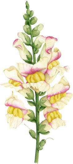 Snapdragon illustration. An illustration for Australian House & Garden magazine March 2011. © Allison Langton