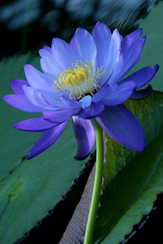 Water Lily (How I love blue flowers) Flowers Nature, Exotic Flowers, Amazing Flowers, Pretty Flowers, Purple Flowers, Water Garden, Trees To Plant, Mother Nature, Flower Power