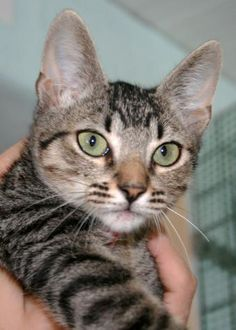 BARTIK - Gato adoptado - AsoKa el Grande