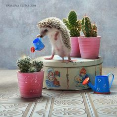 Hedgehog watering the cactus Happy Hedgehog, Hedgehog Pet, Cute Hedgehog, Cute Funny Animals, Cute Baby Animals, Animals And Pets, Animal Pictures, Cute Pictures, Little Critter