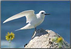 White Tern (Fairy Tern)