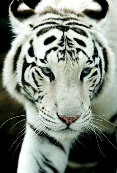 White Tiger - so beautiful and majestic!