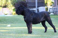 Cane Corso Italiano Cane Corso Kennel, Cane Corso Mastiff, Cane Corso Dog, Big Dogs, I Love Dogs, Neopolitan Mastiff, Animals And Pets, Cute Animals, Awesome Dogs