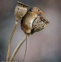 Oops: The mouse appeared to slip as it bounded between the flower heads but soon managed to climb up