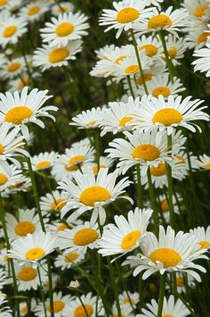 Ray Scott's Images and Insights - Arkansas Wildflowers/Oxeye Daisy Field