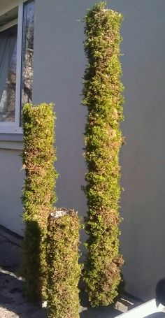 They used to be sewer pipes - now trees or something else... it depends on your imagination! #moss