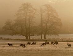Fallow deer stand in a meadow near Frankfurt Germany. Photograph: Michael Probst