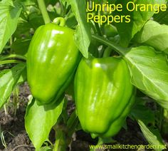Ripening sweet orange bell peppers