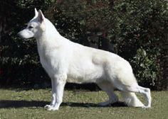 white shepherds..beautiful dogs. I've had two & they're wonderful.. loyal, smart & very protective of their family.