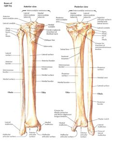 tibia and fibula blank diagram hayabusa wiring 1999 bone 13 12 kenmo lp de labelled forensic anthropology pinterest rh com unlabeled front side