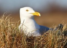 """Herring Gulls are the quintessential gray-and-white, pink-legged """"seagulls."""" They're the most familiar gulls of the North Atlantic and can be found across much of coastal North America in winter. A variety of plumages worn in their first four years can make identification tricky—so begin by learning to recognize their beefy size and shape."""