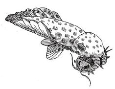 Anomalocaris. The wonders of the Cambrian sea. Huge. Predator. Thank you, Burgess Shale.