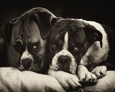 Two Boxer Dogs Cuddling