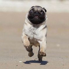 Why look so excited? ~~~~~~~~~~~~~~~~~~~~~~~~~~~~~~~~~~~~ LOVE OUR PAGE? TELL US WHAT DO YOU WANT US TO POST?! PLEASE COMMENT IT BELOW! ~~~~~~~~~~~~~~~~~~~~~~~~~~~~~~~~~~~~ ✔ Tag To Your Friends Who Loves Pugs!  Follow our account for more cute dog post:  Credit .pug #pug