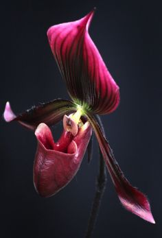 Pomegranate-colored Slipper-orchid -- Paphiopedilum #orchids