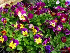 Move over vegetables and fruit, don't forget edible flowers like pansies. Here's a recipe for a frozen Strawberry Semifreddo with Edible Pansies.